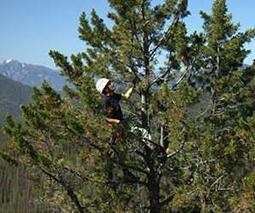 Whitebark Pine Trees: Is Their Future at Risk | Wildlife | Scoop.it