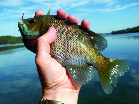 It's about to be that time of the year for bream fishermen | Hunting and Fishing in Alabama | Scoop.it