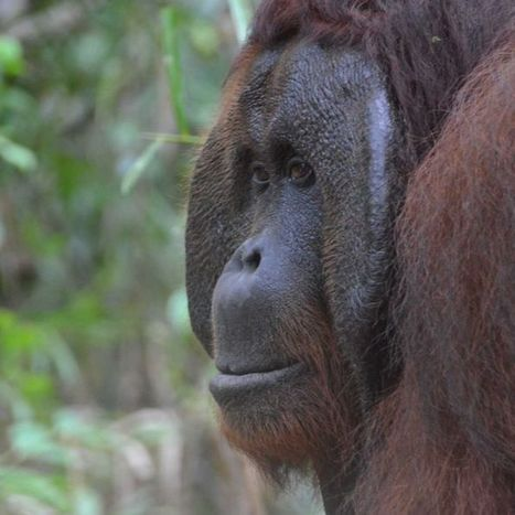 River guides buying land to protect orangutans from palm oil threat | Lorraine's Environmental Change &  Management | Scoop.it