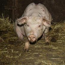 Fifi : Paluu sikatiloille   Eläinten syömisestä   Scoop.it