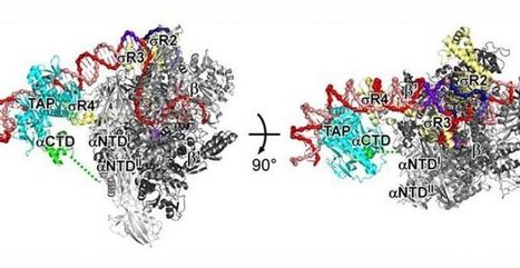 3D Structure Of Gene Transcription Activation Identified | Virology and Bioinformatics from Virology.ca | Scoop.it