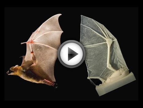 Ro-Bat : le premier robot qui réplique l'aile de la chauve-souris | Robotique de service | Scoop.it