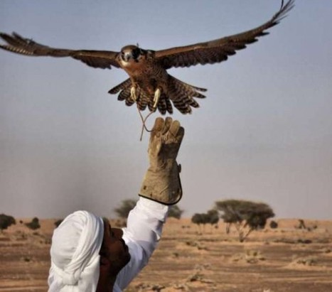 Abu Dhabi falconers think drones are for the birds | Green Prophet | Arabian Peninsula | Scoop.it