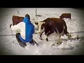 Candide Thovex chargé par une vache | montagne | Scoop.it