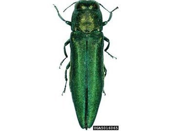 New Hampshire (US): Agrilus planipennis found in 5% of trees in Concord | Effectors and Plant Immunity | Scoop.it