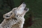 Wolves Howl to 'Keep in Touch' with Friends | Freefire Nature | Scoop.it