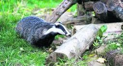 Badgers like to steer clear of  cattle, satellite tracking shows | wildlife | Scoop.it