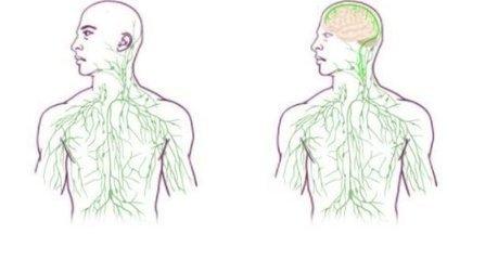 Missing link found between brain, immune system; major disease implications | Daily News Reads | Scoop.it
