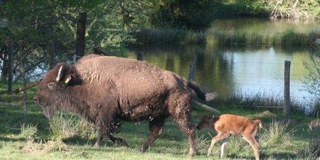 Jumpy, le premier bébé bison né en Dordogne | Agriculture en Dordogne | Scoop.it