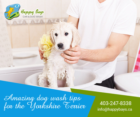 Amazing dog wash tips for the Yorkshire Terrier | Know about Your Car Wash Services in Calgary from Happy Bays | Scoop.it