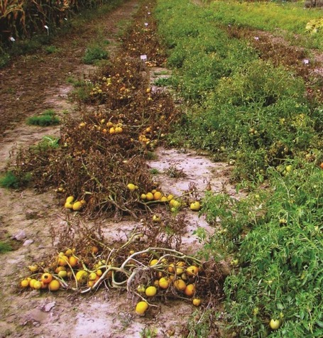 Plant Disease: Potato and Tomato Late Blight Caused by Phytophthora infestans: An Overview of Pathology and Resistance Breeding | Plant health | Scoop.it