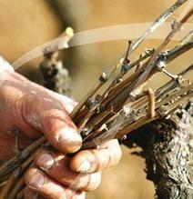 Vins du Beaujolais : la stratégie 2013 combine petite production, contractualisation et diversification | Autour du vin | Scoop.it