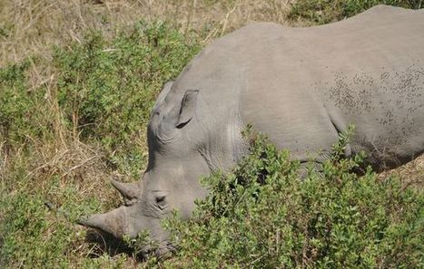 No break for rangers as rhino war rages on | What's Happening to Africa's Rhino? | Scoop.it