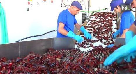 Bioplástico con residuos del cangrejo rojo del Guadalquivir | Transición | Scoop.it