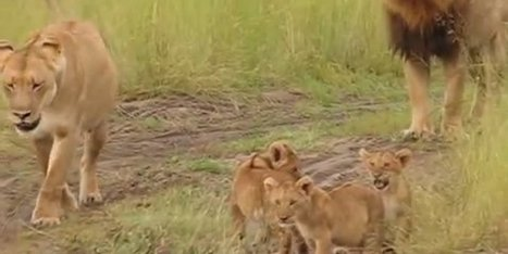 These Little Lion Cubs Wish They Could Roar Like Dad (VIDEO) - Huffington Post | SARMOTI | Scoop.it