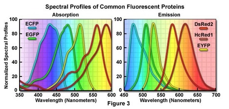 Fluorescent Proteins | Amazing Science | Scoop.it