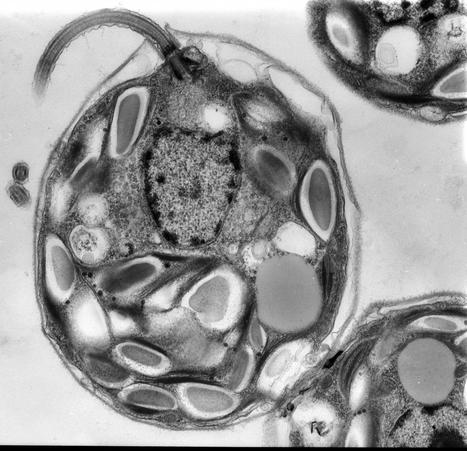Novel 'repair system' discovered in algae may yield new tools for biotechnology | Plant Molecular Farming | Scoop.it