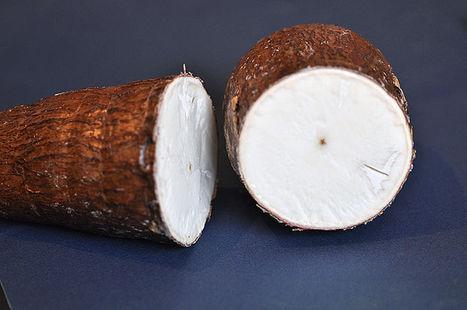 Genetically Modified Plants: Saving Cassava Crop Requires Global Effort   OGMs   Scoop.it