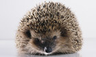 Gardens: sharp practices to encourage hedgehogs | 100 Acre Wood | Scoop.it
