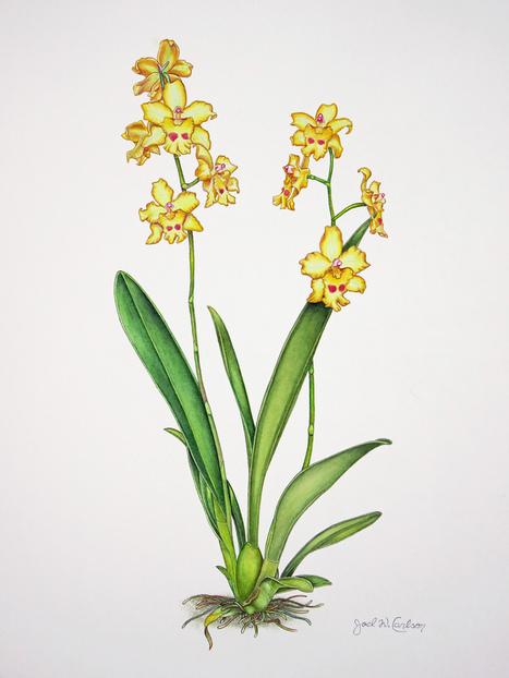 Odontonia Orchid   ❀ hawaiibuzz ❀   Scoop.it