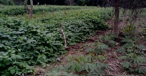 New intercropping technology for Ghanaian farmers - Myjoyonline.com   Vertical Farm - Food Factory   Scoop.it