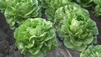 Arizona Veg IPM Update: aphid identification, lettuce wilt diseases, edible weeds | Western Farm Press | CALS in the News | Scoop.it