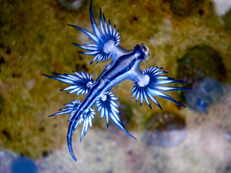 BIODIVERSITY: This Crazy-Looking Sea Slug Has an Ingenious Secret Weapon | > Animal Welfare | Scoop.it