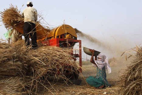 Coming soon: a zinc-rich variety of wheat in India | WHEAT | Scoop.it
