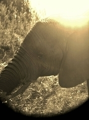 Elephant in South Africa Taken with an iPhone through a pair of binoculars   Photography   Scoop.it