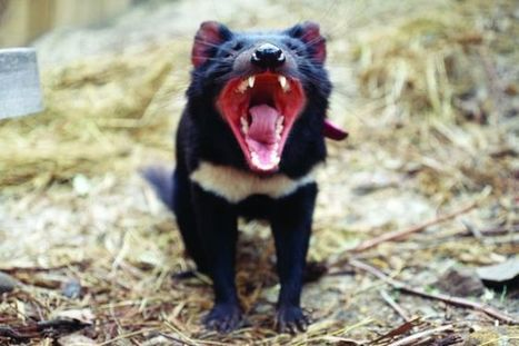 Tasmanian devil DNA shows signs of cancer fightback | Amazing Science | Scoop.it
