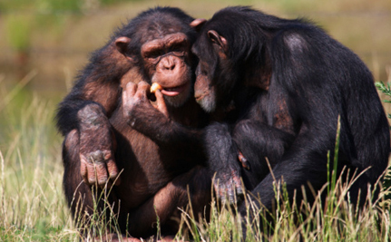 Feds 'Retire' 110 Chimps...By Sending 100 of Them To Another Research Center - Care2.com (blog)   Animals R Us   Scoop.it