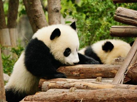 Chinese scientists have decoded 'panda language' | Knowmads, Infocology of the future | Scoop.it
