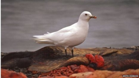#Mercury  #AtmosphericPollution risk to #Arctic #Gull ~ has risen nearly 50-fold! #AffectsBreedingAbility | Rescue our Ocean's & it's species from Man's Pollution! | Scoop.it