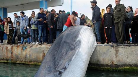Une baleine de 10 mètres meurt après s'être prise dans des filets de pêche, en Tunisie | Info Afrique | Scoop.it
