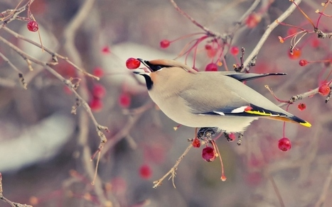 winter bird wallpaper | wallpapers | Scoop.it