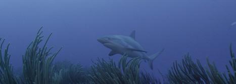 Shark Research on St. Maarten | DCNA | St Maarten | Scoop.it