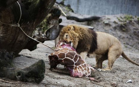 Kirahvin lihat heitettiin leijonille eläintarhassa | Biologygeography teaching | Scoop.it