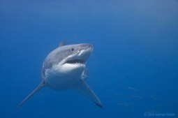 Protect Great White Sharks | Sharks to protect | Scoop.it