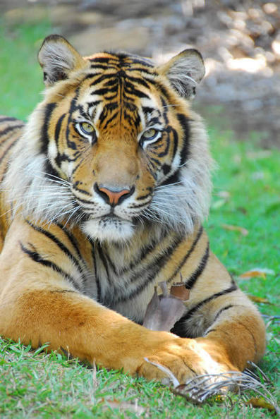 Australia Zoo Wildlife Warriors - Asian Conservation - Tiger Conservation   Year 7 Science: Endangered Species – Tigers across Asia   Scoop.it