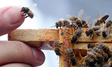 Third of all honeybee colonies in England did not survive winter - The Guardian | Agua | Scoop.it