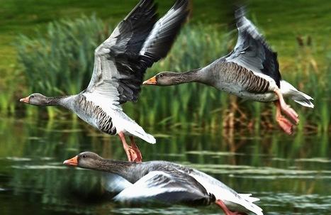 Monogamy Helps Geese Reduce Stress | lonopensado | Scoop.it