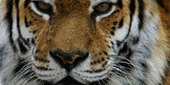 Watch Siberian Tiger Quest Online   Full Episode   Nature   PBS   Taiga forest   Scoop.it