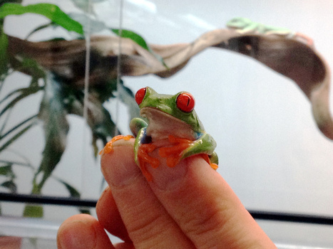 Introducing the Fabulous Frogs App: Splendid and Native | AR in Education | Scoop.it