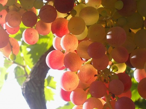 It's a grape VARIETY, for heaven's sake!!! | Wine lovers unite! #winelover | Scoop.it