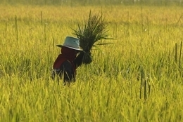 Thailand loses top rice exporter title | Bangkok Post: news | Children of the Mekong | Scoop.it