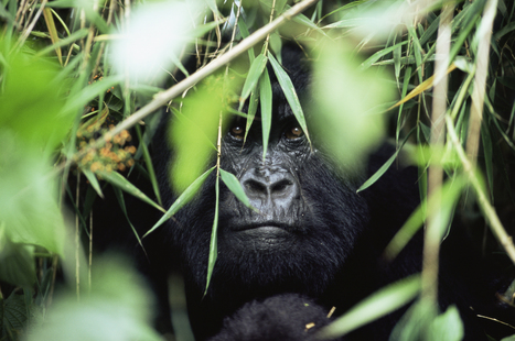 Blanc-seing du gouvernement congolais | Virunga - WWF | Scoop.it