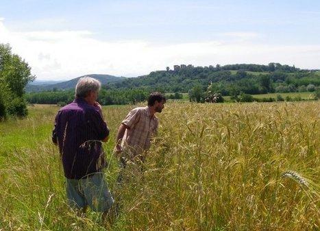 Il retrouve et cultive des variétés anciennes de blé pour éviter la chimie | Questions de développement ... | Scoop.it