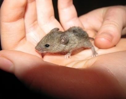 Как избавиться от мышей / Журнал садовода Samdolis / 7dach.ru | Огородные новости | Scoop.it