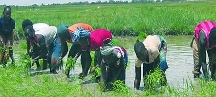 17 millions de tonnes supplémentaires de riz décortiqué seront nécessaire à l'Afrique | Questions de développement ... | Scoop.it