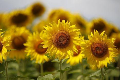 Comment les tournesols suivent le soleil - le Figaro | Actualités écologie | Scoop.it